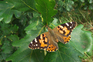 'Painted Lady' (Distelfalter) bei Ahrbeck