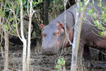 Hippo in St. Lucia