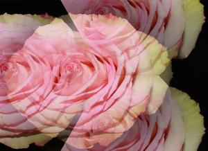 Illusion einer Rose