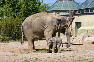 Tierpark Hellabrunn in München am 14. Mai 2011 Elefanten. Video