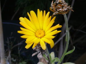 Calendular Officinalis