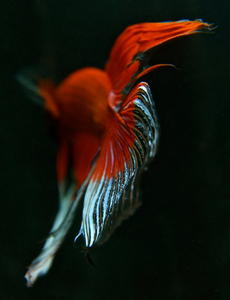 Betta splendens 'Crown'