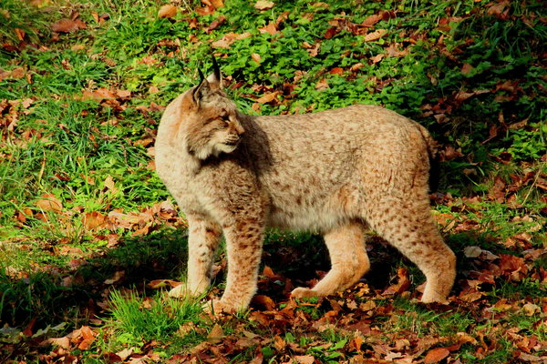 wildpark, luchs, bad-mergentheim
