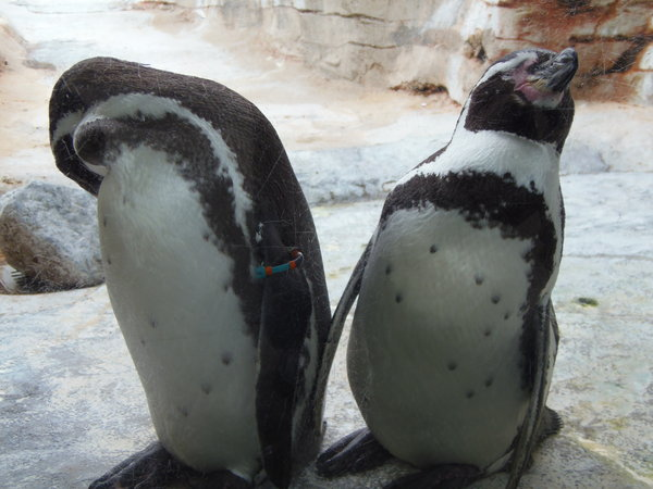 pinguin, zoo-am-meer