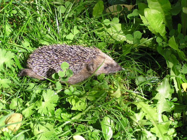 naturbeobachtung, igel