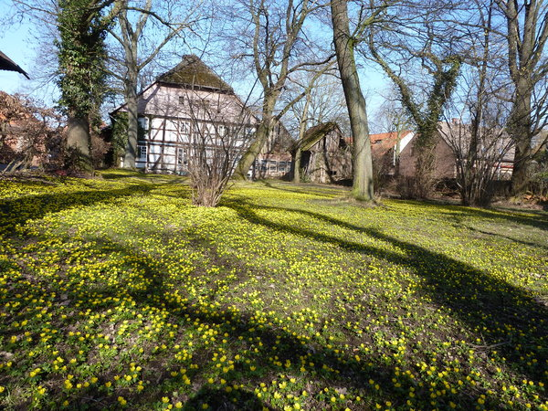 winterlinge-im-februar, blumenpracht-in-immensen