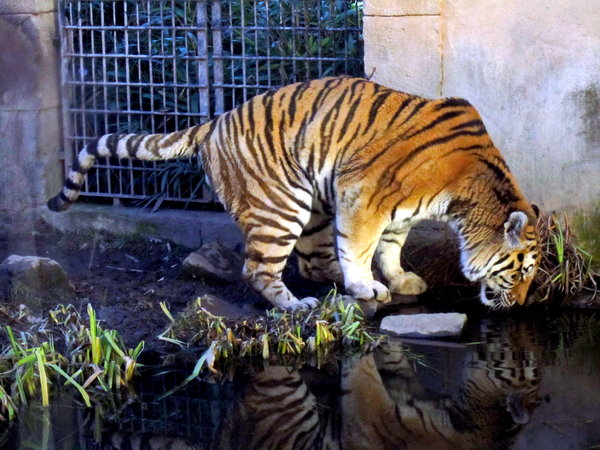 katze, zoo, zoo-hannover, tiger, durst, raubtiere