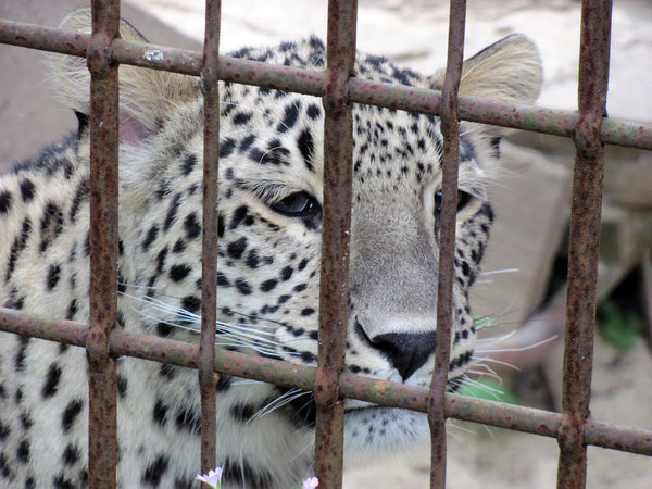 tiere, hannover, zoo, zoo-hannover, leopard