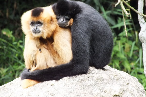 affenliebe, gibbons