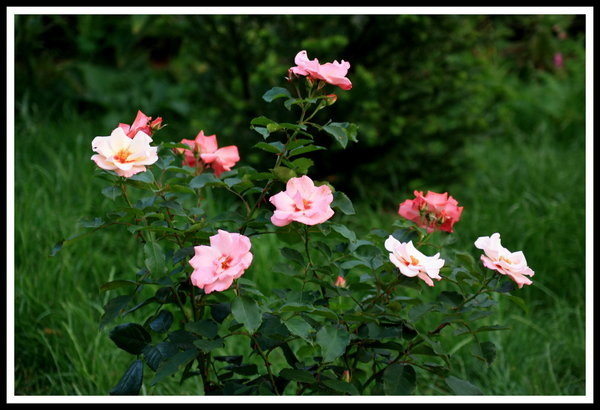 rose, persische-rose