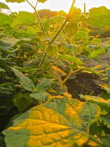 Physalis in der Oktoberabendsonne