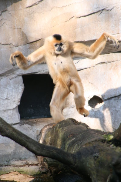 zoo-hannover, affe, zootiere, affentanz