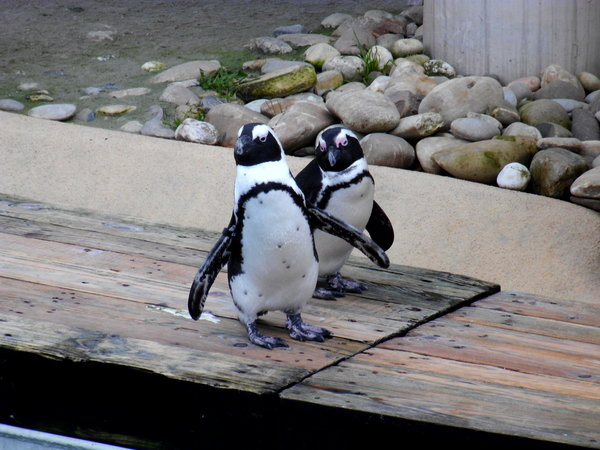 zoo, zoo-hannover, pinguine, pinguine-zoo-hannover