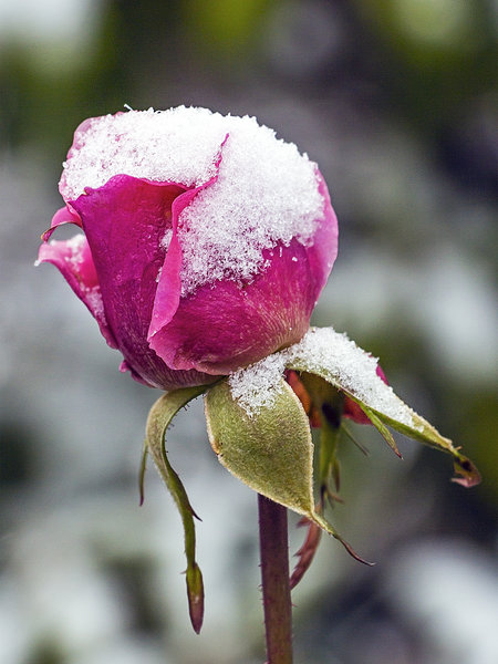 winter, schnee, blüte, rose, rot