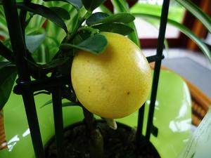 LIMONELLA Eustis - Citrus Plants - am 28.1.2014 !