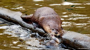 Otter i. Tierpark Edersee
