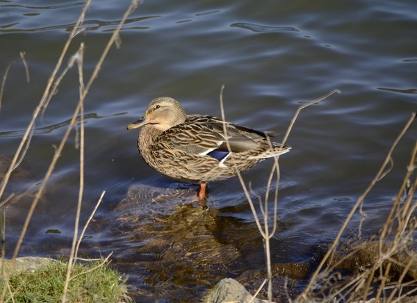 wasser, enten, nikon-d-5100, twistesee
