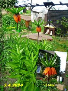 Kaiserkrone Blütendolden orange  - Fritillaria imperialis !