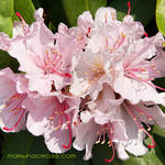 Rhododendron Traum