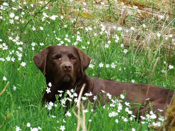 hund, tier, labrador, labrador-retriever, labrador-in-bad-wildungen, benni, benni-in-bad-wildungen