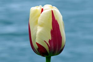 Bodensee + Tulpe