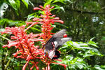 Parides erlaces - ?