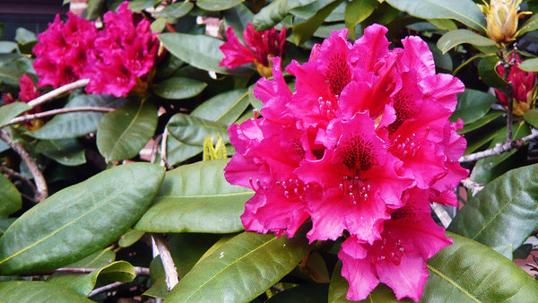 walsrode, rhododendron