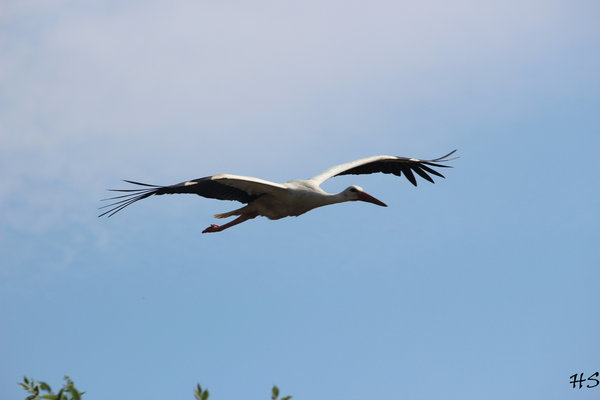 storch, fliegender-storch