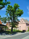Sommer-Linde am Backhaus - am 20.5.2014 !