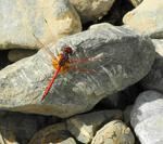 Gefleckter Sonnenzeiger  ('Orange-winged Dropwing' - Trithemis kirbyi ardens )