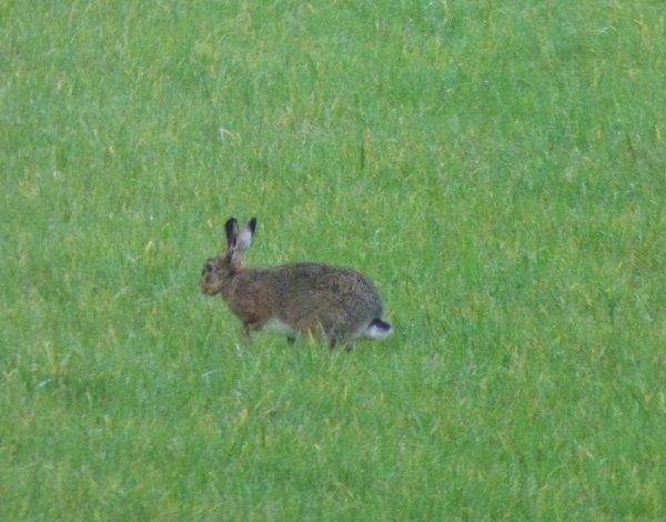 wiese, hase