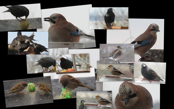 vögel, collage