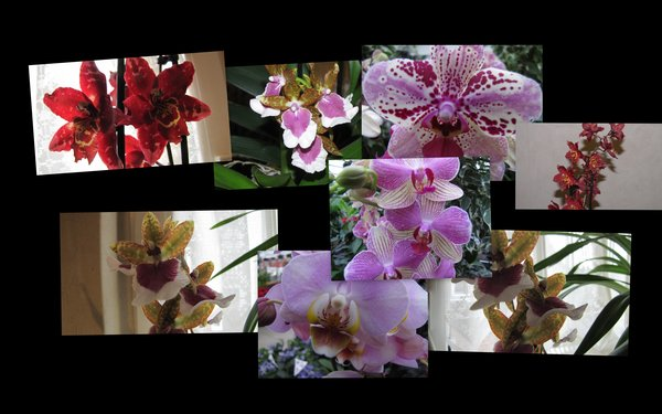 orchideen, collage
