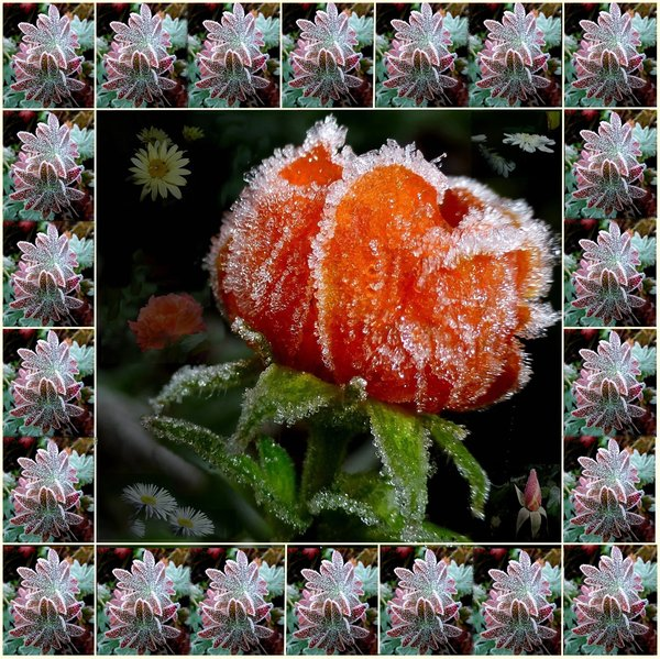 natur, rose, collage