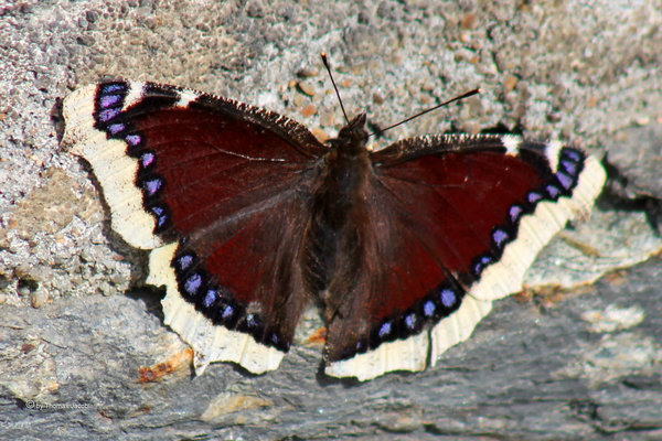 schmetterling, falter, trauermantel