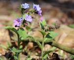 Lungenkräuter (Pulmonaria officinalis)