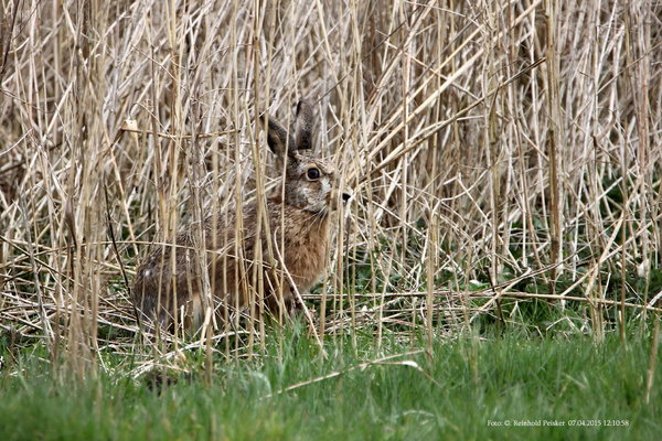 burgdorfer-land, hase, naturbeobachtung, hasen, feldhase, stadtpark-burgdorf, burgdorfer-stadtpark, tiere-am-wegesrand, tiere-im-frühling, hase-in-freier-wildbahn, feldhase-im-stadtpark, hase-im-schilf