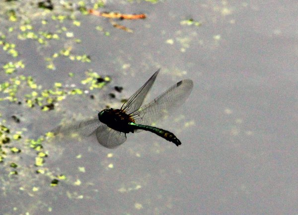 libelle, alter-baggersee