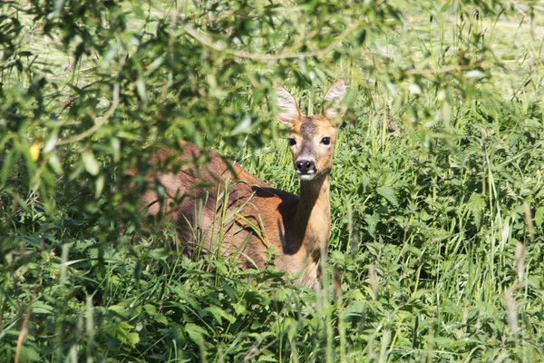 natur, tier, wildtiere, reh, ricke, beobachtung