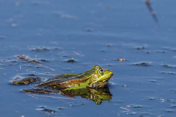frosch, moorsee