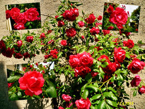Rote Rosen - Collage - am 25.6.2015 !
