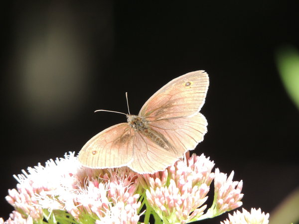 schmetterling, waldvogel