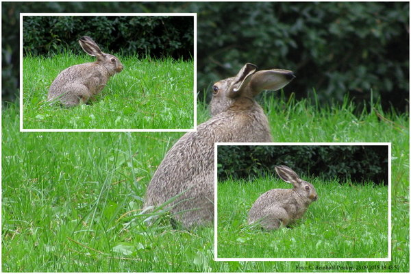 tierfoto, hase, naturbeobachtung, collage, naturfoto, feldhase, tierfotos, naturbeobachtungen, tierbeobachtung, collage-von-tieren, feldhase-auf-einer-wiese, collage-vom-feldhasen