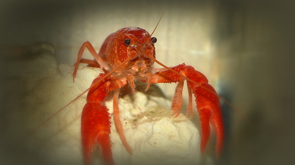 tiere, lobster