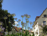 Blick durch Agapanthus