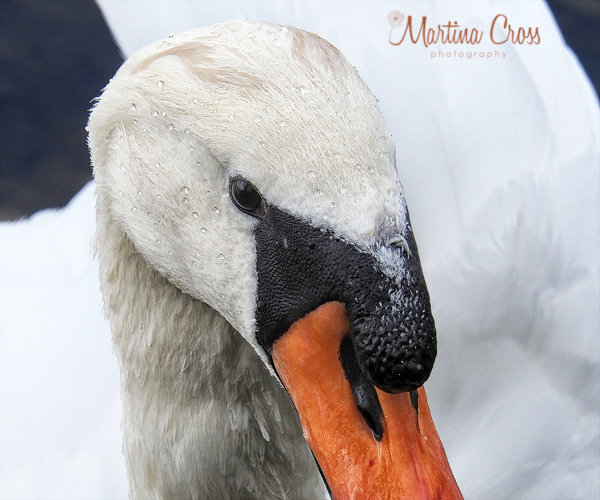 meitingen, schwan, fotografin-in-meitingen, tierfotografie-in-meitingen, schwan-in-meitingen, tierportrait-in-meitingen