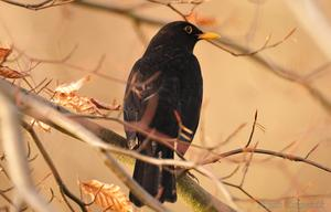 Amsel..... im Winter 2015
