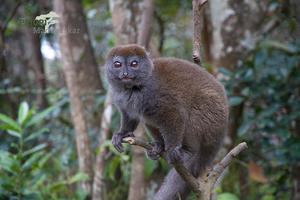 Lemur in Madagaskar