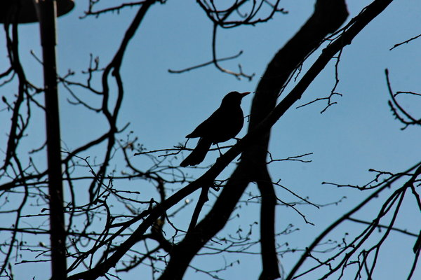 amsel, silhouette