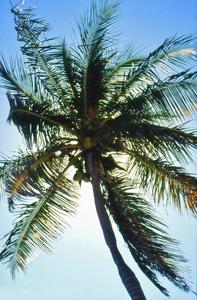 Palme auf Key West, Florida 1991